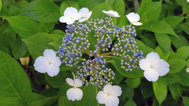 花の谷の紫陽花