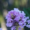 百日紅 薄紫