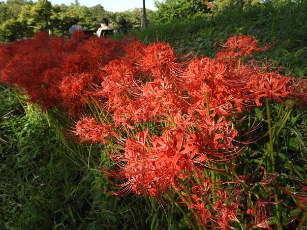 花桟敷 ヒガンバナ