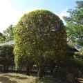 Photos: 茶室と金木犀
