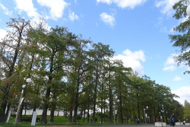 ラクウショウとメタセコイア並木