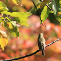 Photos: 紅葉と小鳥