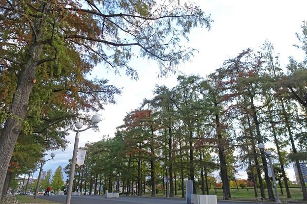 鶴見緑地 メタセコイア