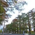 Photos: 鶴見緑地 メタセコイア