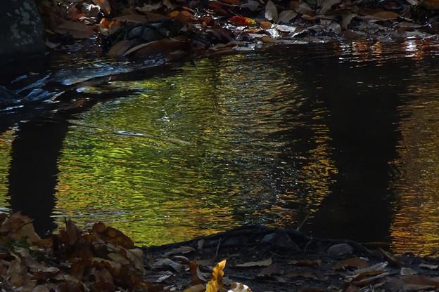 水面の黄葉