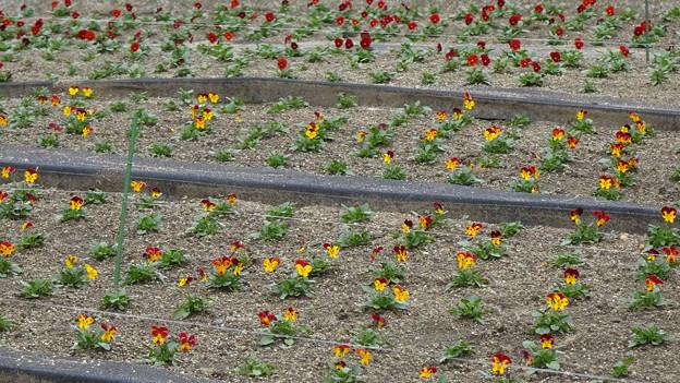 ビオラ花壇