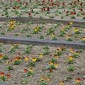 Photos: ビオラ花壇