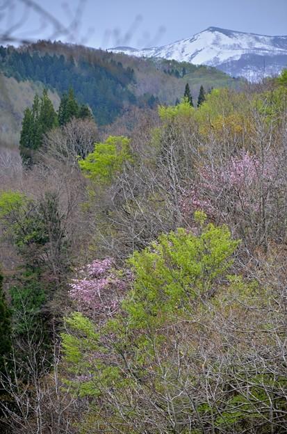 雪と新緑と山桜
