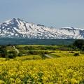 写真: 鳥海山~菜の花2