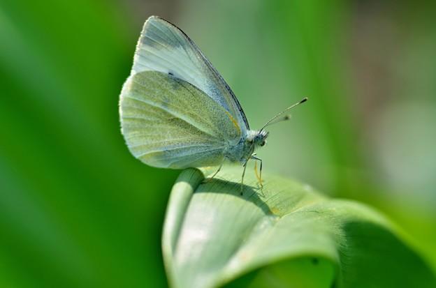モンシロ蝶