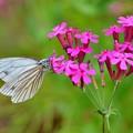 写真: ムシトリナデシコ~スジクロシロ蝶