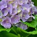 Photos: あじさい~まだ咲いています