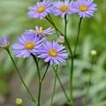 Photos: 紫苑たて
