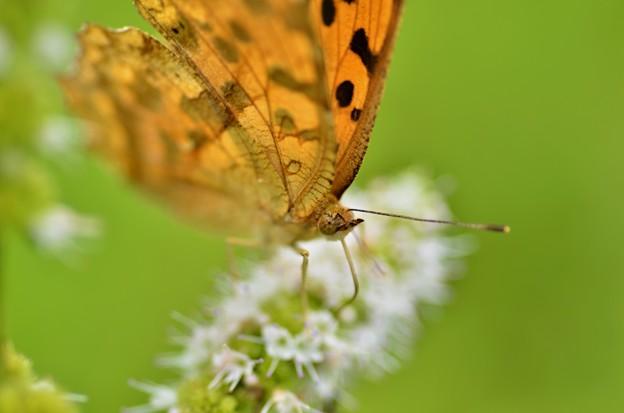 キタテハ蝶2