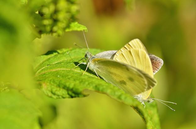 モンシロ蝶~交尾