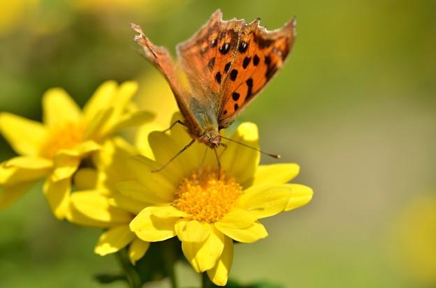 キタテハ蝶~菊