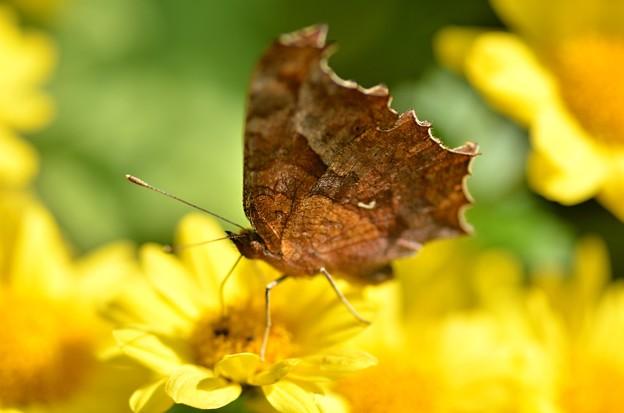 キタテハ蝶よこ