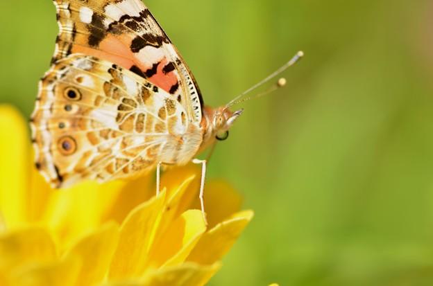 アカタテハ蝶~右側