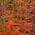 Photos: 紅葉赤