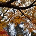 黄紅葉~縮小
