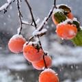残り柿に雪