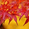 Photos: 雨の紅葉