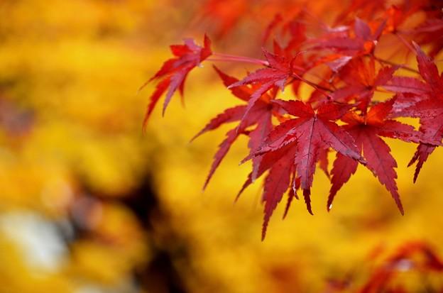 雨の紅葉2
