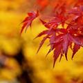 Photos: 雨の紅葉2