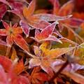 霜付き紅葉