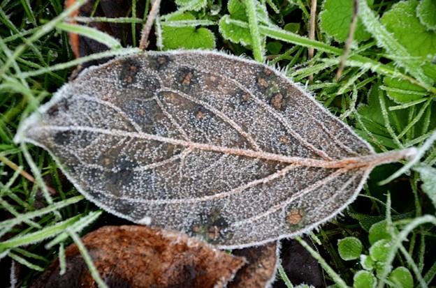 Photos: 霜柱葉っぱ