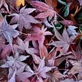 Photos: 霜降りもみじ緑