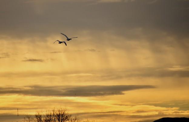 朝焼け白鳥