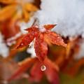 Photos: 雪もみじ