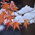Photos: 雪紅葉