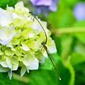 紫陽花イトトンボ