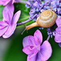 額紫陽花に今年初めてのカタツムリ