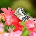 Photos: あげは蝶