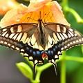 今年初めてのアゲハ蝶