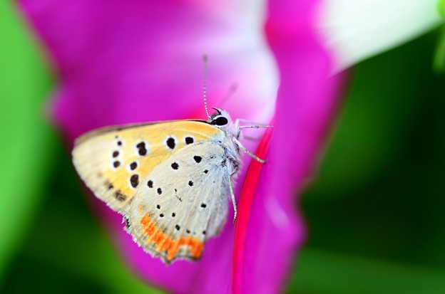 Photos: アサガオ~ベニシジミ蝶