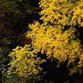 黄葉2~サイズ縮小