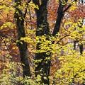 Photos: 昔の木~ブナの木