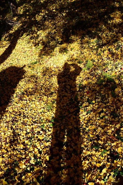 イチョウと紅葉と影