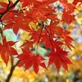 Photos: 赤紅葉