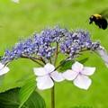 ガクアジサイにクマバチ