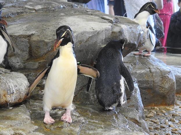 イワトビペンギン2