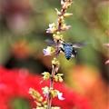お花畑のルリモンハナバチ