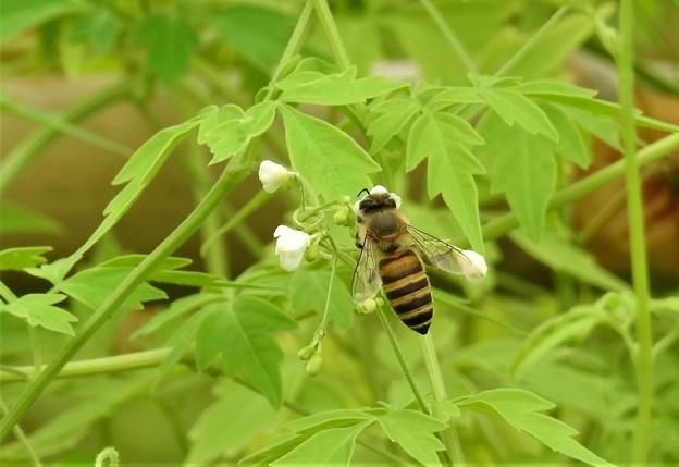 風船葛にコガタスズメバチ