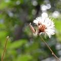 写真: ゴウヤボウキの種子