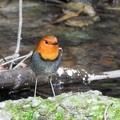 写真: 渓流のコマドリ♂ー1