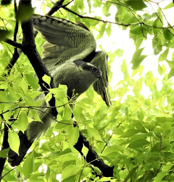 高い木にオオタカ―2
